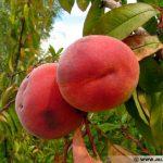 prunus-persica-peche-fruit-540x405