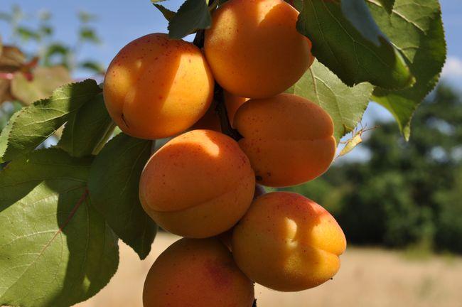 Début de la vente des fruitiers bio en racines nues